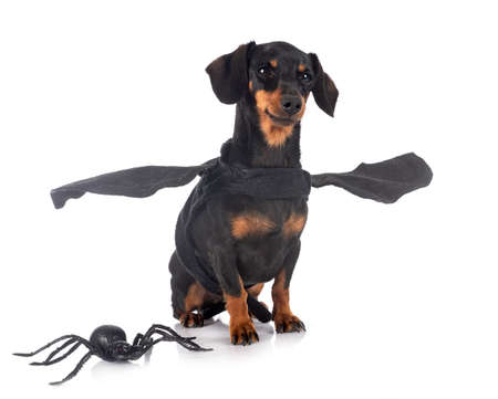Photo pour black and tan Dachshund in front of white background - image libre de droit
