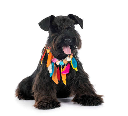 Photo pour miniature schnauzer in front of white background - image libre de droit