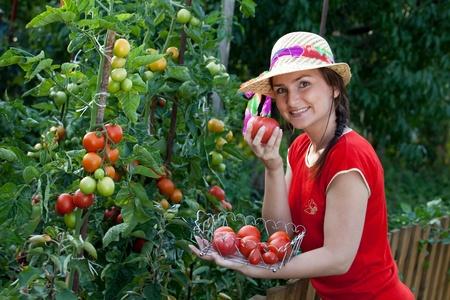 Young gardener woman harvesting tomatoes