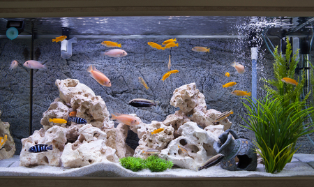 Foto de Aquarium with cichlids fish from lake malawi - Imagen libre de derechos