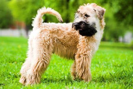 Photo pour Irish soft coated wheaten terrier stay on grass - image libre de droit