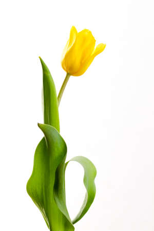 Photo for yellow tulip on a white background in a number of - Royalty Free Image