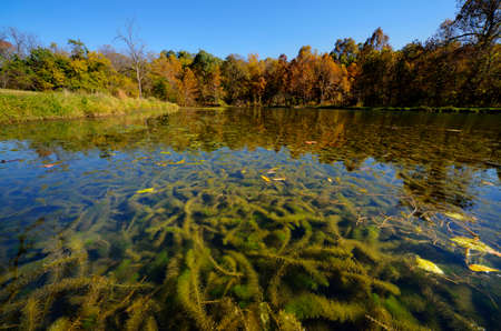 Photo for Eurasian milfoil Myriophyllum spicatum clogging a small spring fed lake.  Landscape orientation.  Deep perspective. - Royalty Free Image