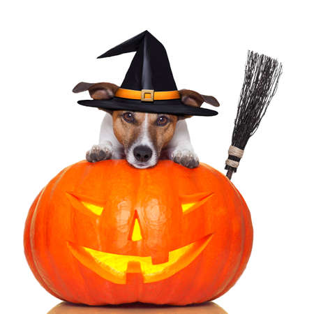 Photo for halloween pumpkin witch dog with a broom - Royalty Free Image