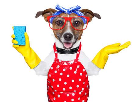 Photo pour housewife dog with rubber gloves and a blue sponge - image libre de droit