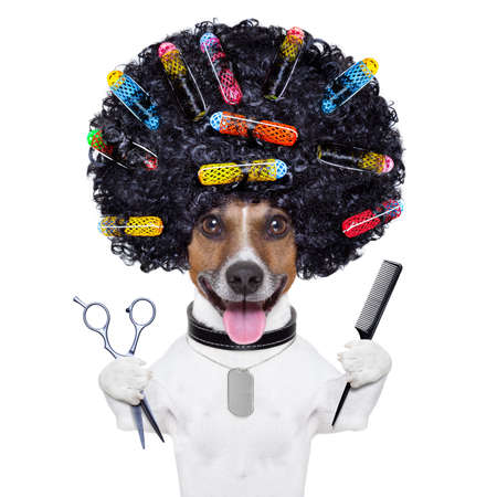Photo pour afro look dog with very big curly black hair , scissors and hair comb  with hair rollers - image libre de droit