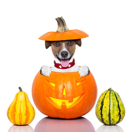 Photo for halloween dog inside a pumpkin looking spooky - Royalty Free Image