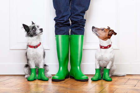 Photo pour two terrier dogs waiting to go walkies in the rain at the front door at home - image libre de droit
