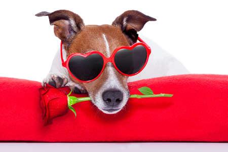 Foto de valentines day dog  holding a rose in his mouth - Imagen libre de derechos