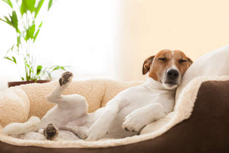 Photo pour dog having a relaxing siesta in living room - image libre de droit