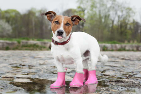 dog wearing pink rubber boots inside a puddle  sticking out  the tongue