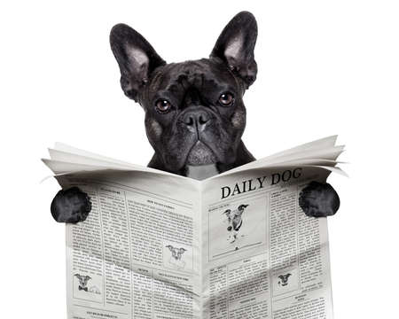 Photo for black  french bulldog reading a big newspaper - Royalty Free Image