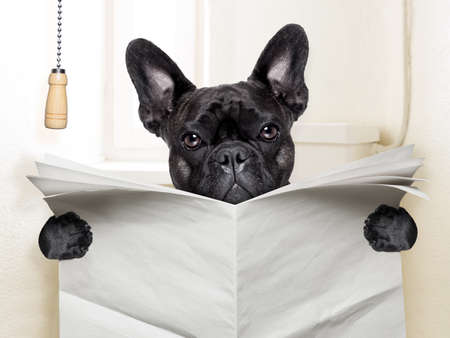 french bulldog  sitting on toilet and reading newspaper