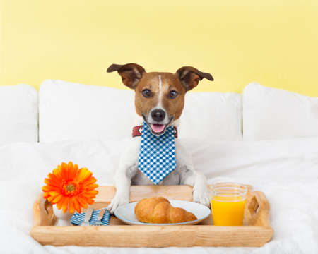 Photo for dog having nice breakfast in white bed - Royalty Free Image