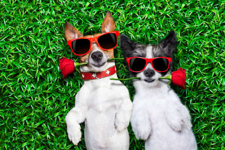 Photo pour couple of dogs in love very close together lying on grass in the park with a red rose on each mouth - image libre de droit
