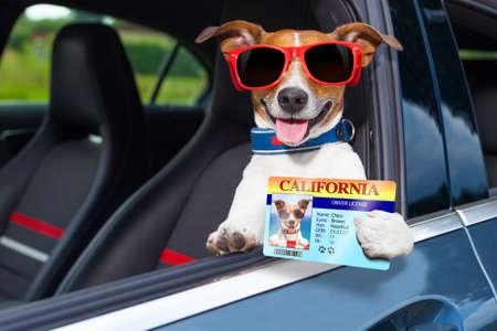 Foto de dog leaning out the car window showing the drivers license - Imagen libre de derechos