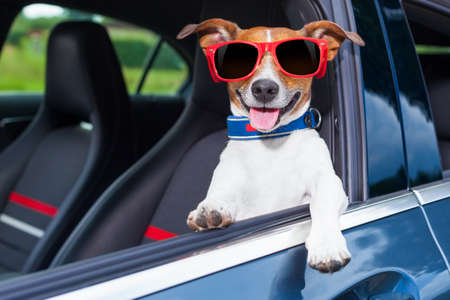 Photo for dog leaning out the car window making a cool gesture wearing red sunglasses - Royalty Free Image