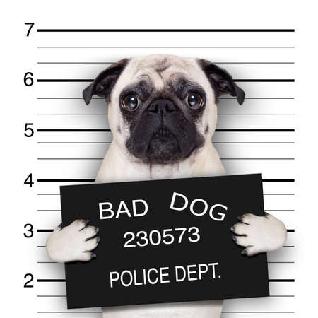 Photo for funny cute pug holding a placard while a mugshot is taken - Royalty Free Image
