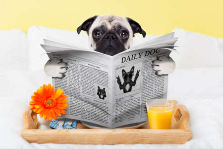Photo for pug dog reading the newspaper and having breakfast in bed - Royalty Free Image