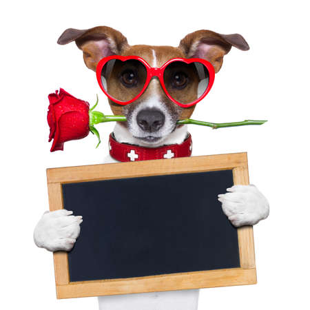 Photo pour valentines dog with a red rose in mouth , isolated on white background,holding a blackboard , banner or placard - image libre de droit