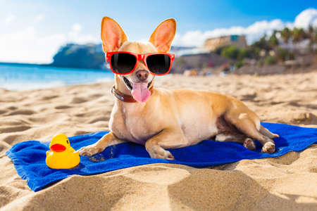 Foto de chihuahua dog at the ocean shore beach wearing red funny sunglasses smiling at camera - Imagen libre de derechos