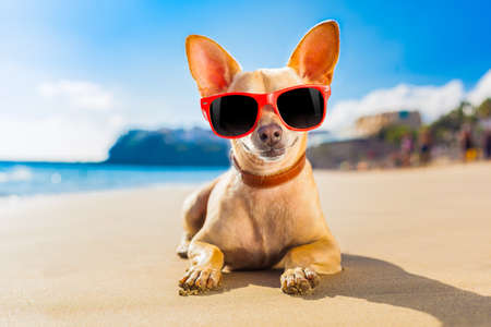 Photo pour chihuahua dog at the ocean shore beach wearing red funny sunglasses - image libre de droit