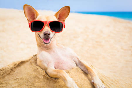Photo for cool chihuahua dog at the beach wearing sunglasses - Royalty Free Image