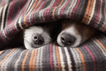 Foto de couple of dogs in love sleeping together under the blanket in bed - Imagen libre de derechos