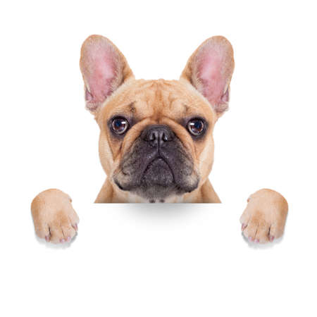 Photo pour fawn french bulldog behind a white blank banner or placard, isolated on white background - image libre de droit
