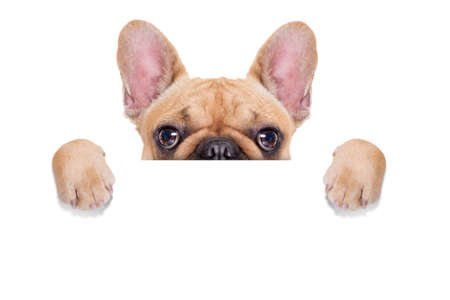 Photo for fawn french bulldog behind a white blank banner or placard, isolated on white background - Royalty Free Image