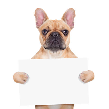 Photo for fawn french bulldog holding a white blank banner or placard, isolated on white background - Royalty Free Image