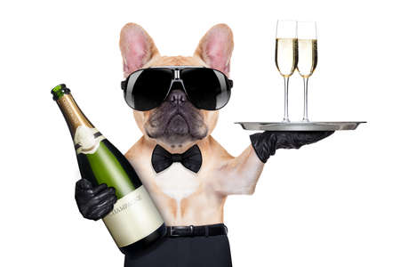 Photo for french bulldog with champagne bottle, holding a service tray with glasses , ready to toast,  isolated on white background - Royalty Free Image