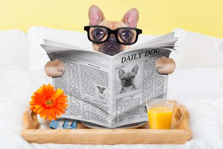 Foto de french bulldog dog having nice breakfast or lunch in  bed, reading the newspaper - Imagen libre de derechos