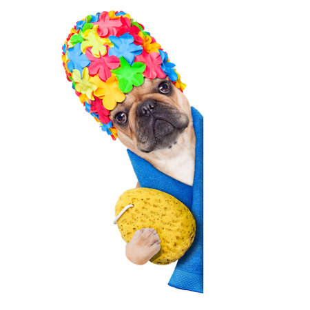 french bulldog dog ready to have a bath or a shower wearing a bathing cap holding a sponge , beside a white and blank banner or placard, isolated on white background