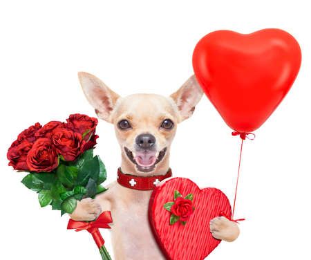 valentines chihuahua dog holding a present box and a bunch of roses , isolated on white background