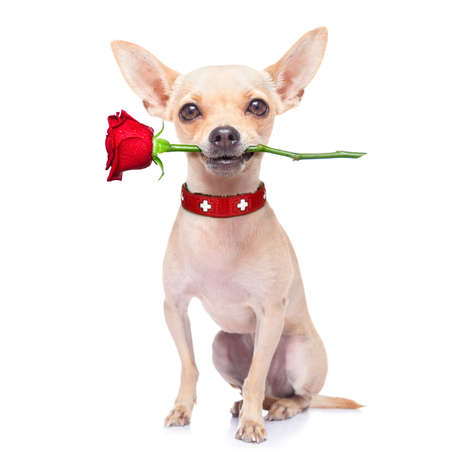 valentines chihuahua dog holding a rose with mouth , isolated on white background