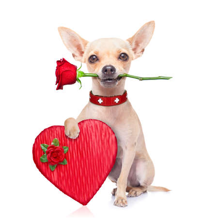 valentines chihuahua dog holding a rose with mouth and a present box , isolated on white background