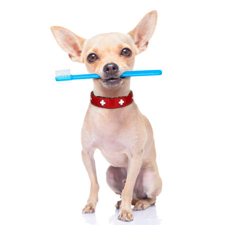 Photo pour chihuahua dog holding a toothbrush with mouth , isolated on white background - image libre de droit