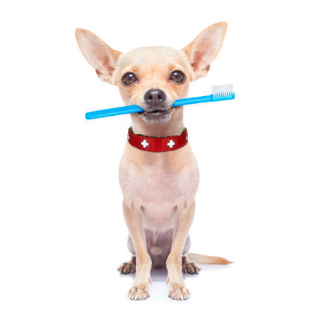 Foto de chihuahua dog holding a toothbrush with mouth , isolated on white background - Imagen libre de derechos