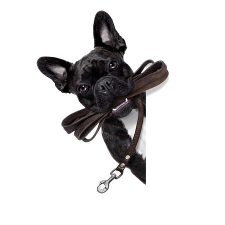 Foto per french bulldog dog   waiting to go for a walk with owner, leather leash in mouth, behind blank  banner, isolated on white background - Immagine Royalty Free