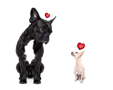 chihuahua and french bulldog, attracted and looking to each other in love, isolated on white background
