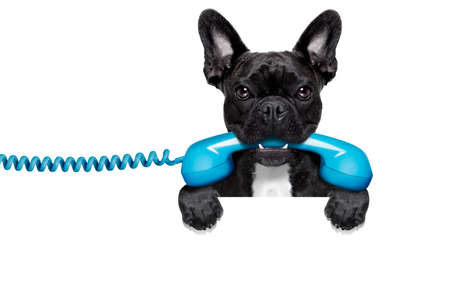 Photo pour french bulldog dog holding a old retro telephone behind a blank empty banner or placard,isolated on white background - image libre de droit