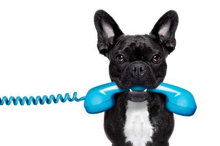 Foto de french bulldog dog holding a old retro telephone , isolated on white background - Imagen libre de derechos
