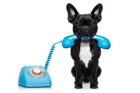 Photo for french bulldog dog on the phone or telephone in mouth, isolated on white background - Royalty Free Image
