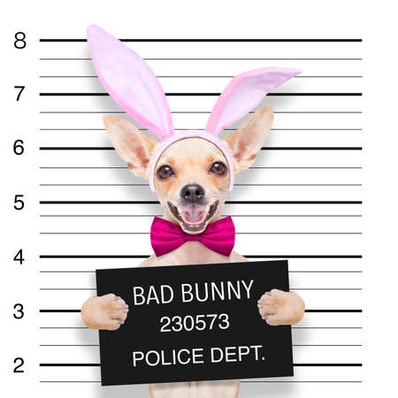 very bad chihuahua dog, at the police station ,holding banner or placard as a mugshot
