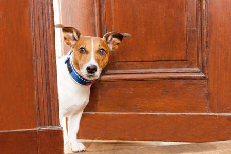 Photo pour jack russell terrier dog at the door at home watching the house - image libre de droit