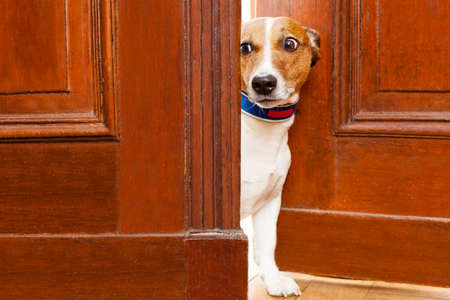 Foto per jack russell terrier dog at the door at home watching from behind with curiosity and scared - Immagine Royalty Free