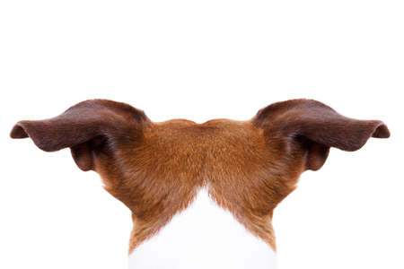 Photo for jack russell dog looking and staring somewhere, from behind back rear torso, isolated on white background - Royalty Free Image