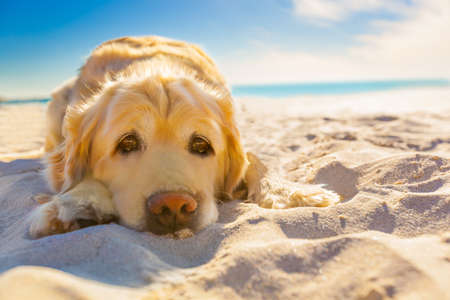 Photo pour golden retriever dog relaxing, resting,or sleeping at the beach, under the bright sun - image libre de droit