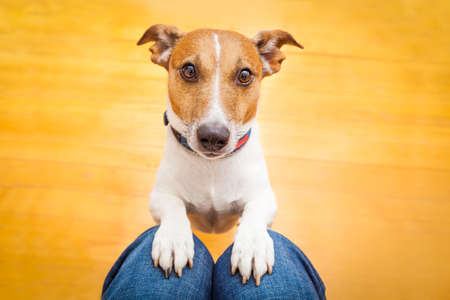 Foto de jack russell dog ready for a walk with owner or hungry ,begging on lap , inside their home - Imagen libre de derechos